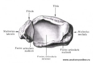 Эпифиз малоберцовой кости.