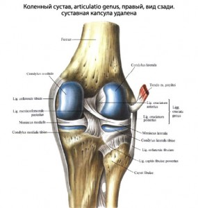 Суставная щель коленного сустава.
