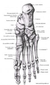Кости пальцев стопы.