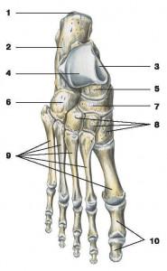 Поверхность тела таранной кости.