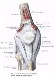 Сесамовидная кость коленного сустава.
