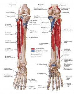 Эпифиз большеберцовой кости.