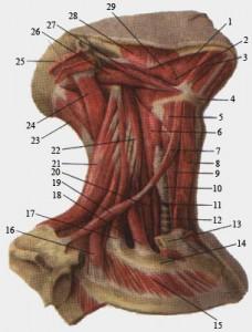 Грудино-ключично-сосцевидная мышца.