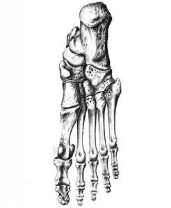 Кости плюсны - рисунок.