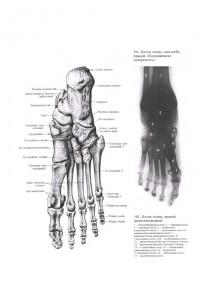 Плюсневые кости.