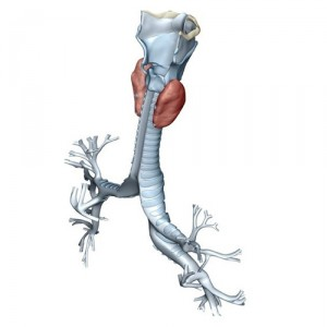 Контуры грудного отдела трахеи.