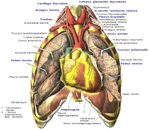 Граница дуги аорты.