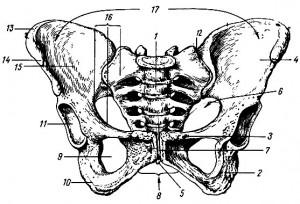 Передняя проекция для лобкового сращения.