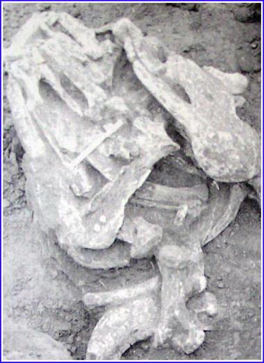 Ископаемые кости антилопы.