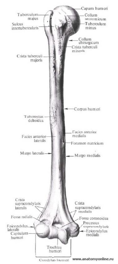 Плечевая кость.